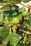 figs young Стоковые Фотографии RF