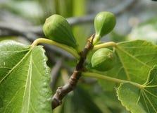 figs young Стоковое Изображение