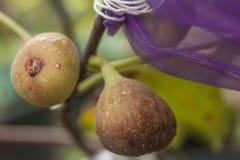 figs young Стоковые Изображения RF