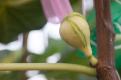 figs young Стоковое Изображение RF