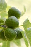 figsgreen royaltyfria bilder