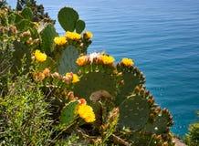 Figue de Barbarie de floraison s'élevant sur le rivage de la Mer Noire Photos stock