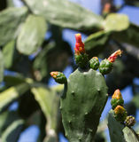 Figue de Barbarie (espèces d'opuntia) Image stock