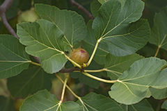 Figue de Commomn (Ficus carica) Photo stock
