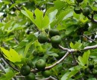 Figue ou Ficus carica avec des figues à Héraklion Crète Grèce Images libres de droits