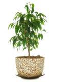 Figue pleurante (Ficus Benjamina) dans le bac Image stock