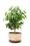 Figue pleurante (Ficus Benjamina) dans le bac Photos stock