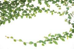 Figue s'élevante de lierre vert d'isolement Images stock