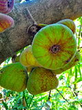 Figue sur l'arbre et le x28 ; Racemosa Linn de ficus et x29 ; Images stock