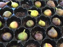 Figues chez marché de San Jose Farmers du centre ' Photographie stock