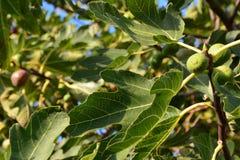 Figues dans l'arbre Image stock
