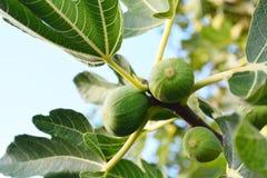 Figues dans l'arbre Photos stock