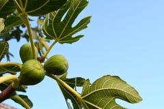 Figues dans l'arbre Photographie stock libre de droits