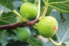 Figues dans Pomorie, Bulgarie Photos stock