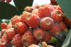 Figues de cactus Image stock
