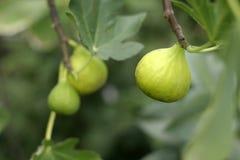 Figues fraîches image libre de droits