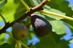Figues fraîches mûrissant sur l'arbre photographie stock
