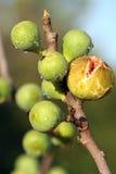 Figues fraîches sur trois Image stock