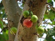 Figues rouges et vertes accrochant avec de grandes branches image libre de droits