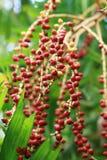 Figues rouges sur l'arbre Photographie stock