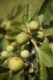 Figues sur l'arbre photographie stock