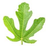 Figues vertes de feuille d'isolement sur le fond blanc Photographie stock libre de droits