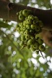 Figues vertes sur l'arbre Images libres de droits