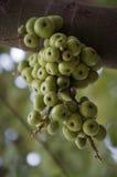 Figues vertes sur l'arbre Photo stock