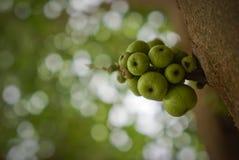 Figues vertes sur l'arbre Photos libres de droits