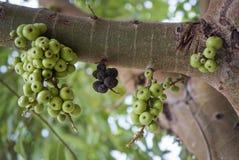 Figues vertes sur l'arbre Photos stock