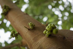 Figues vertes sur l'arbre Image stock