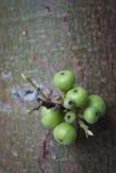Figues vertes sur l'arbre Image libre de droits