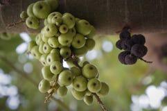Figues vertes sur l'arbre Images stock