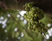 Figues vertes sur l'arbre Photographie stock