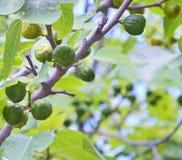 Figues vertes sur l'arbre en jour ensoleillé Photographie stock libre de droits