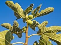 Figues vertes sur une branche photo stock
