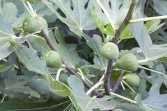Figues vertes sur une branche Image libre de droits