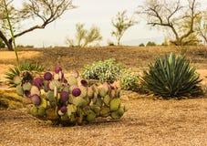 Figuier de barbarie dans le désert de l'Arizona Photo libre de droits
