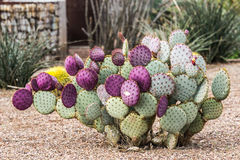 Figuier de barbarie pourpre en Arizona Images stock