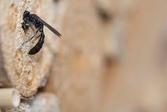 Figulus van Trypoxylon van de Crabronidae solitaire wesp Stock Afbeeldingen
