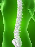 Figura del corpo con la spina dorsale Immagini Stock