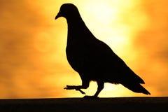 A figura do pombo com o fundo da elevação do sol fotografia de stock
