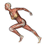 Figura femminile di anatomia illustrazione vettoriale