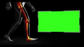 Figura humana de passeio com várias partes destacadas com copyspace ilustração stock