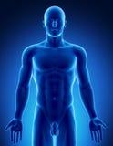 Figura maschio nella parte superiore di posizione anatomica illustrazione vettoriale