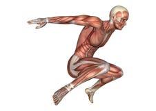 figura masculina da anatomia da rendição 3D no branco Fotos de Stock Royalty Free
