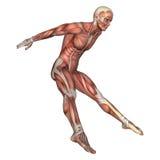figura masculina da anatomia da rendição 3D no branco Fotos de Stock