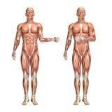 figura medica maschio 3D che mostra esterno della spalla e ro interno illustrazione vettoriale