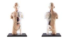 Figura sezione trasversale del corpo umano immagini stock libere da diritti
