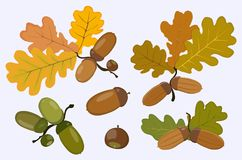 Figure of the acorn and oak leaves. Vector illustration. Vector image of ripe and green acorns icons and oak leaves of yellow, green and brown flowers  on white Royalty Free Stock Photography